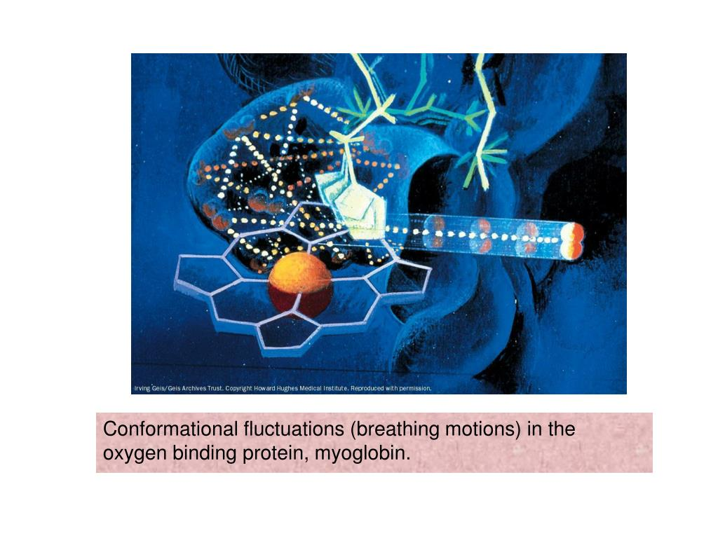Conformational fluctuations (breathing motions) in the oxygen binding protein, myoglobin.
