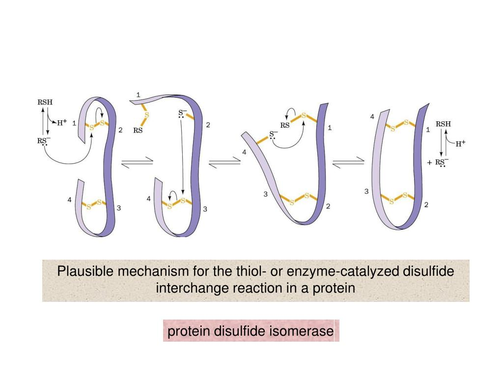 Plausible mechanism for the thiol- or enzyme-catalyzed disulfide interchange reaction in a protein