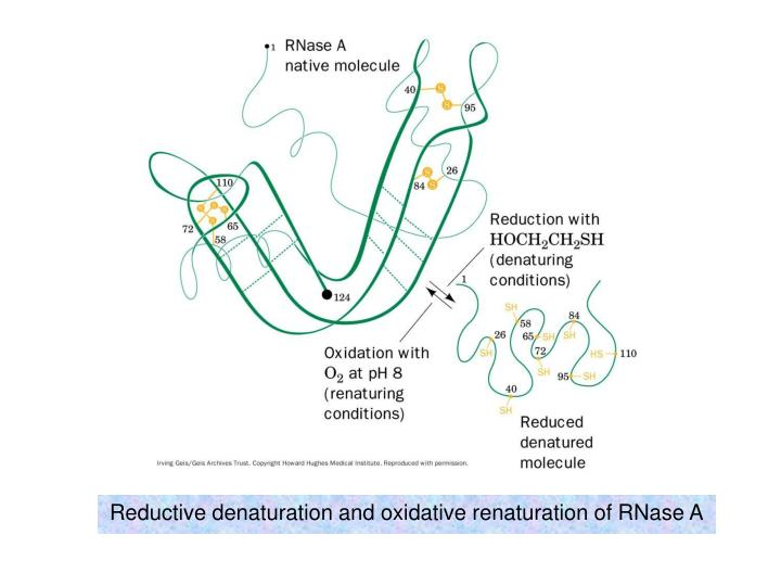 Reductive denaturation and oxidative renaturation of rnase a l.jpg
