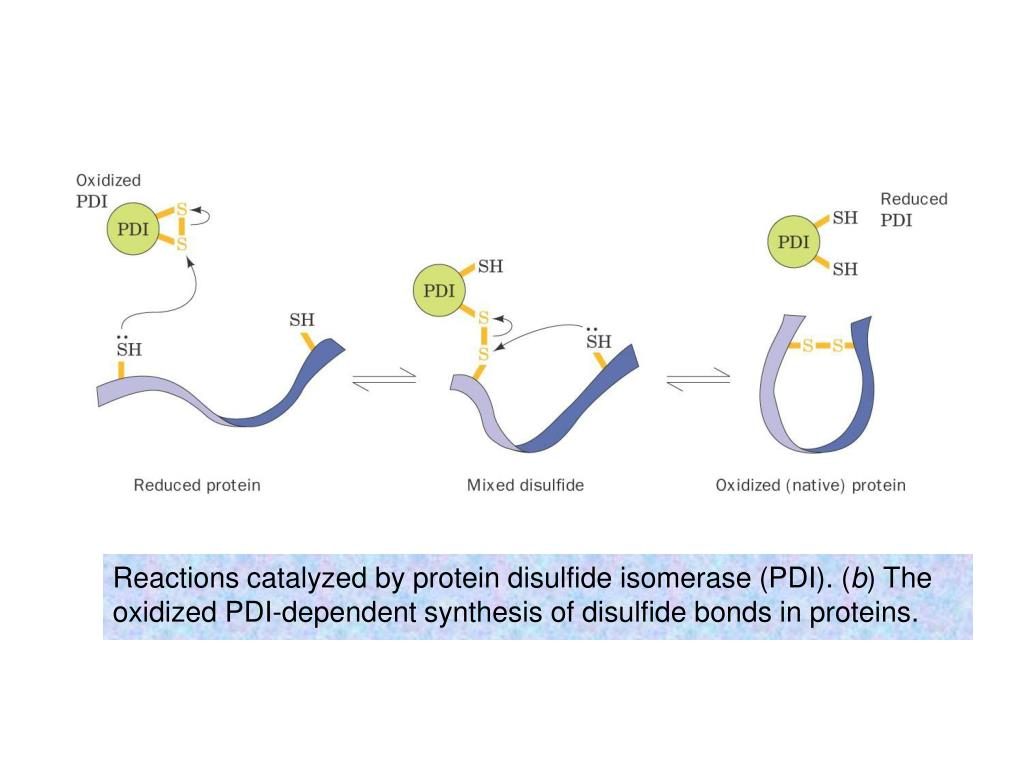 Reactions catalyzed by protein disulfide isomerase (PDI). (
