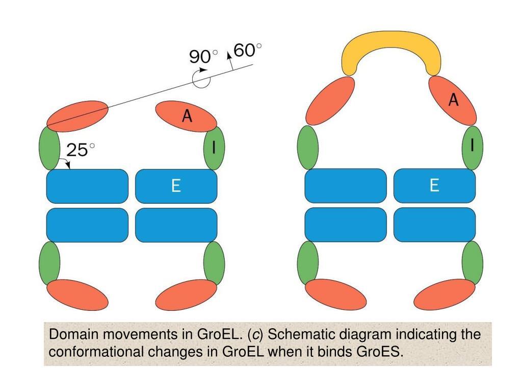 Domain movements in GroEL. (