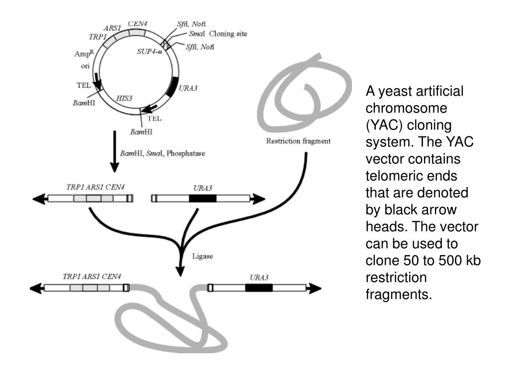 A yeast artificial chromosome (YAC) cloning system. The YAC vector contains telomeric ends that are denoted by black arrow heads. The vector can be used to clone 50 to 500 kb restriction fragments.
