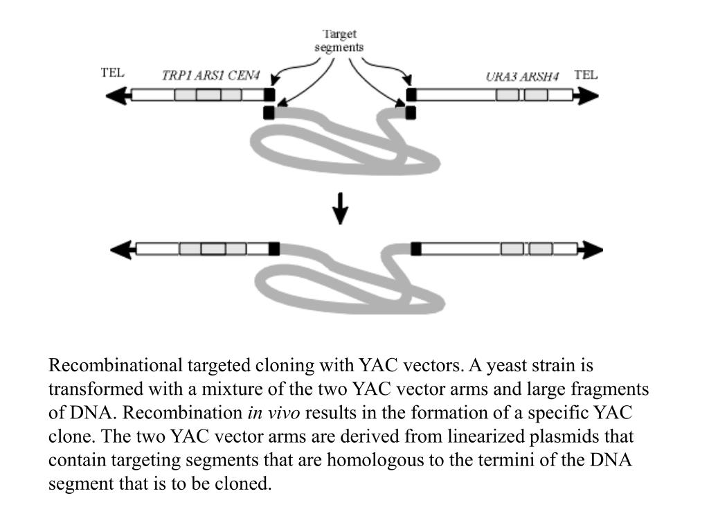 Recombinational targeted cloning with YAC vectors. A yeast strain is transformed with a mixture of the two YAC vector arms and large fragments of DNA. Recombination