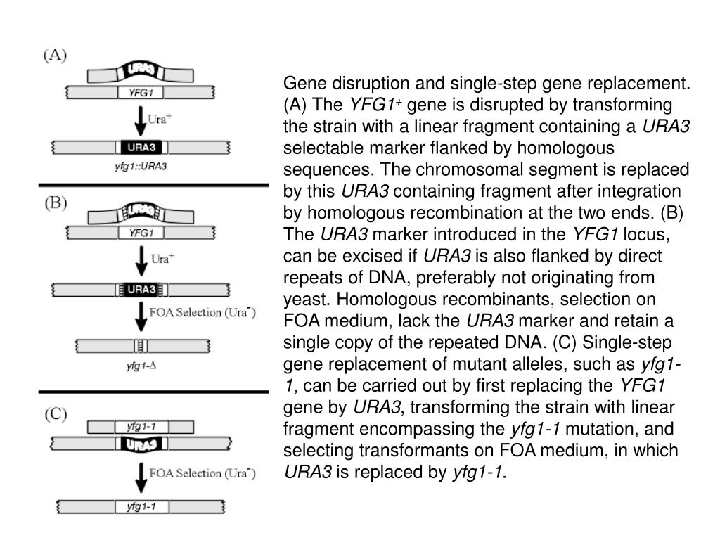 Gene disruption and single-step gene replacement. (A) The