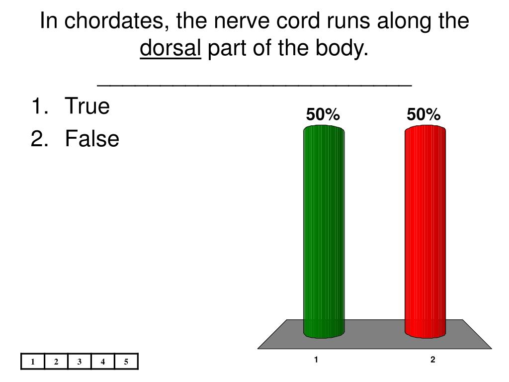 In chordates, the nerve cord runs along the