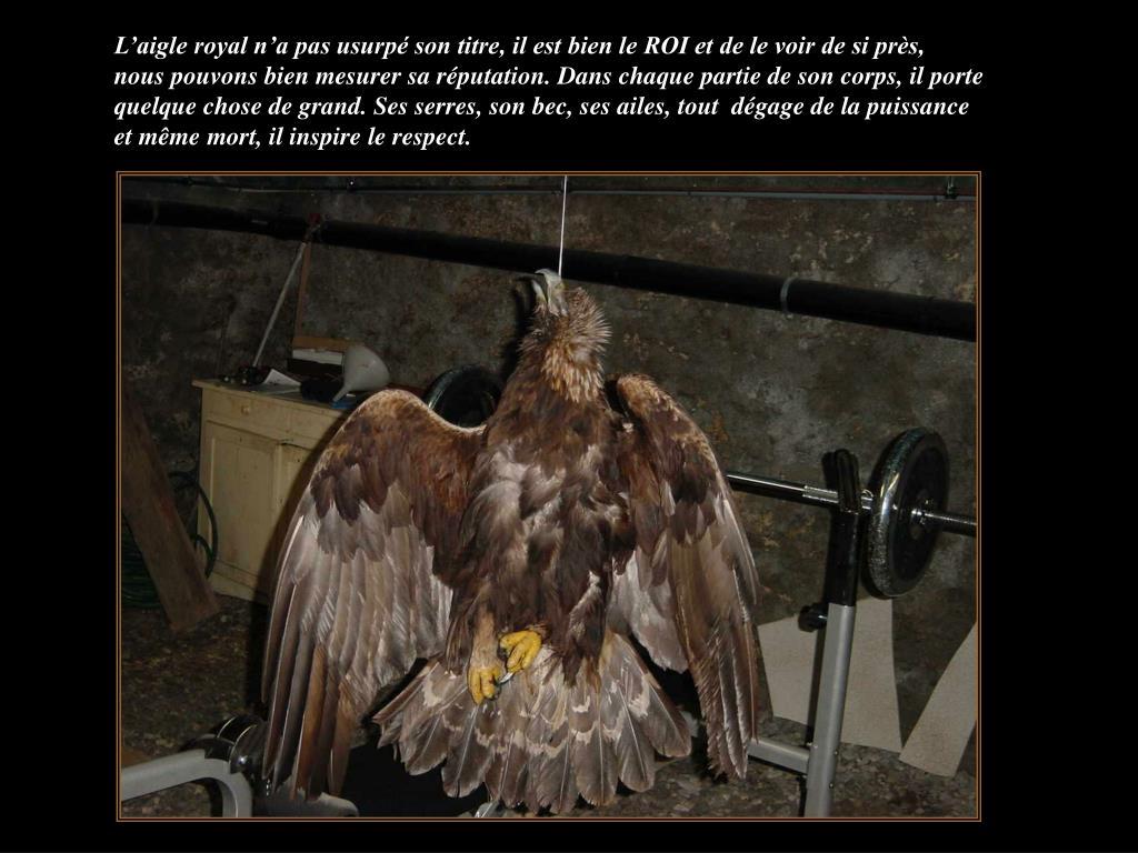 L'aigle royal n'a pas usurpé son titre, il est bien le ROI et de le voir de si près,