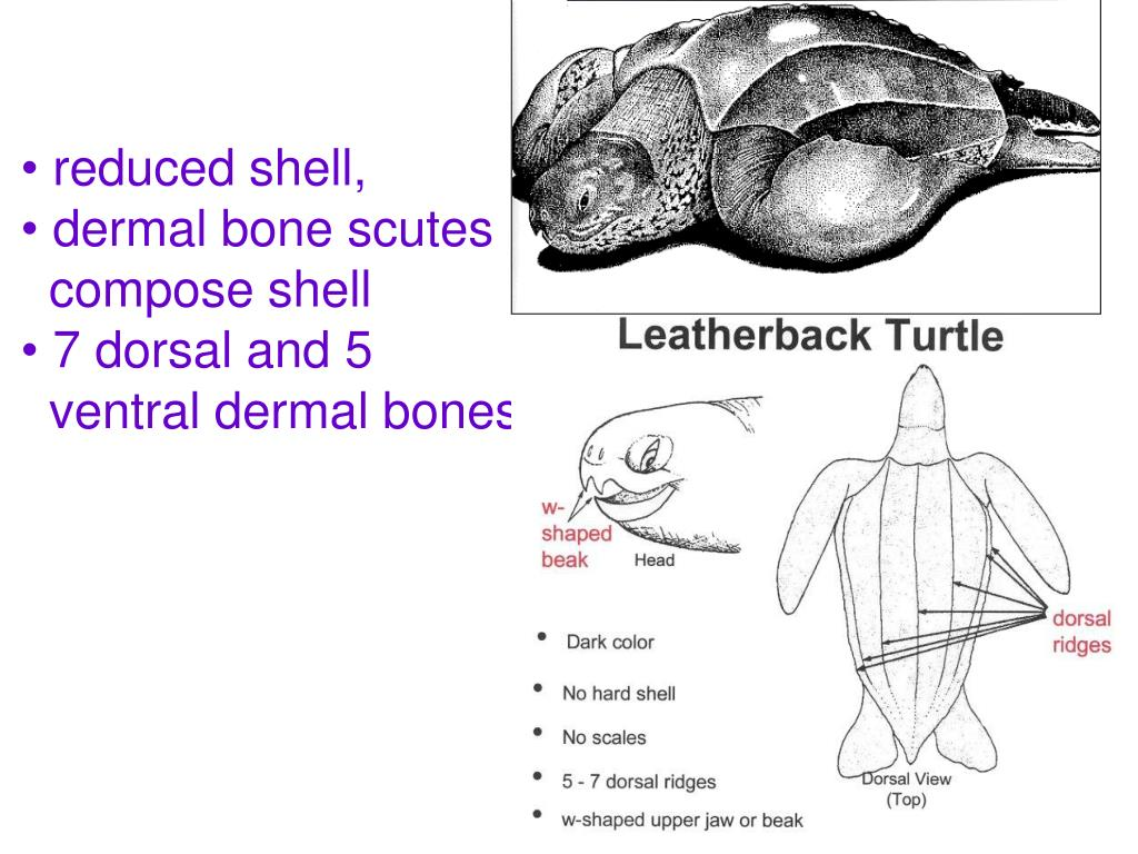 reduced shell,