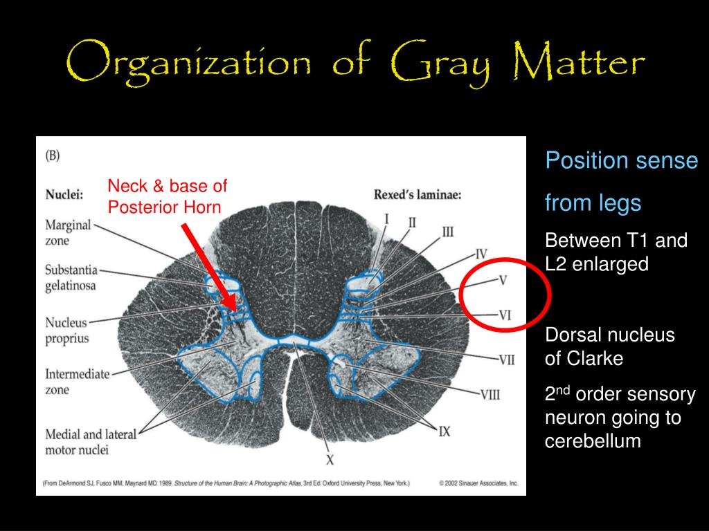 Organization  of  Gray  Matter