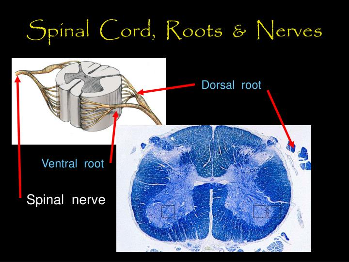 Spinal cord roots nerves