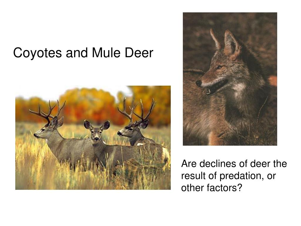 Coyotes and Mule Deer