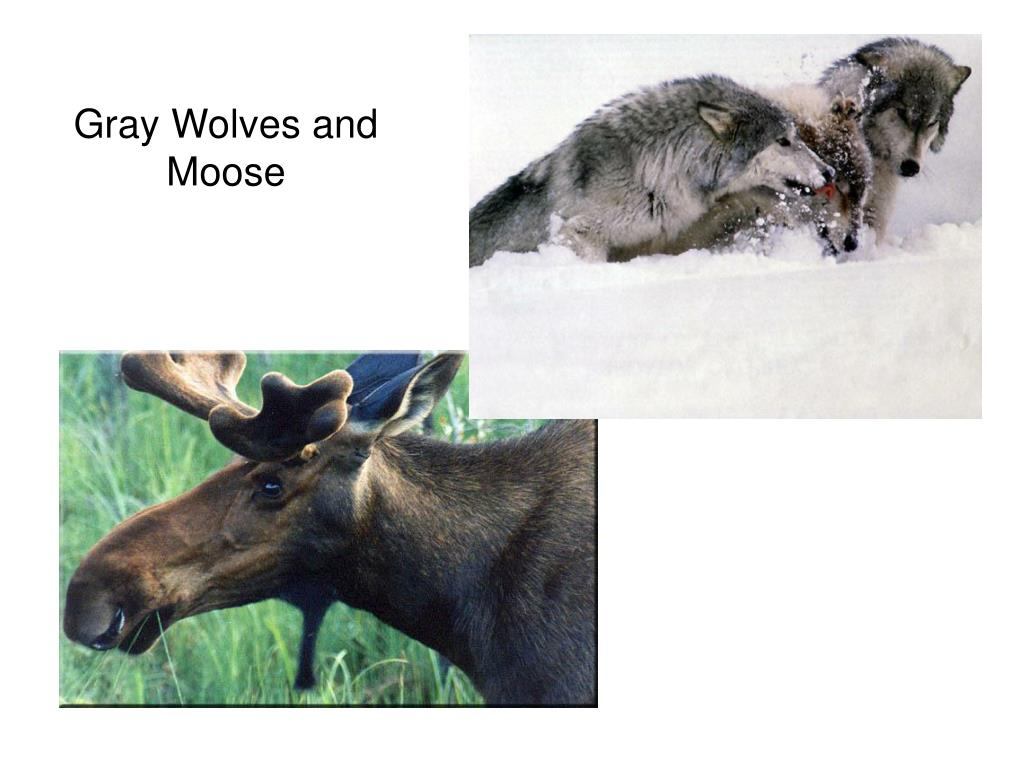 Gray Wolves and Moose