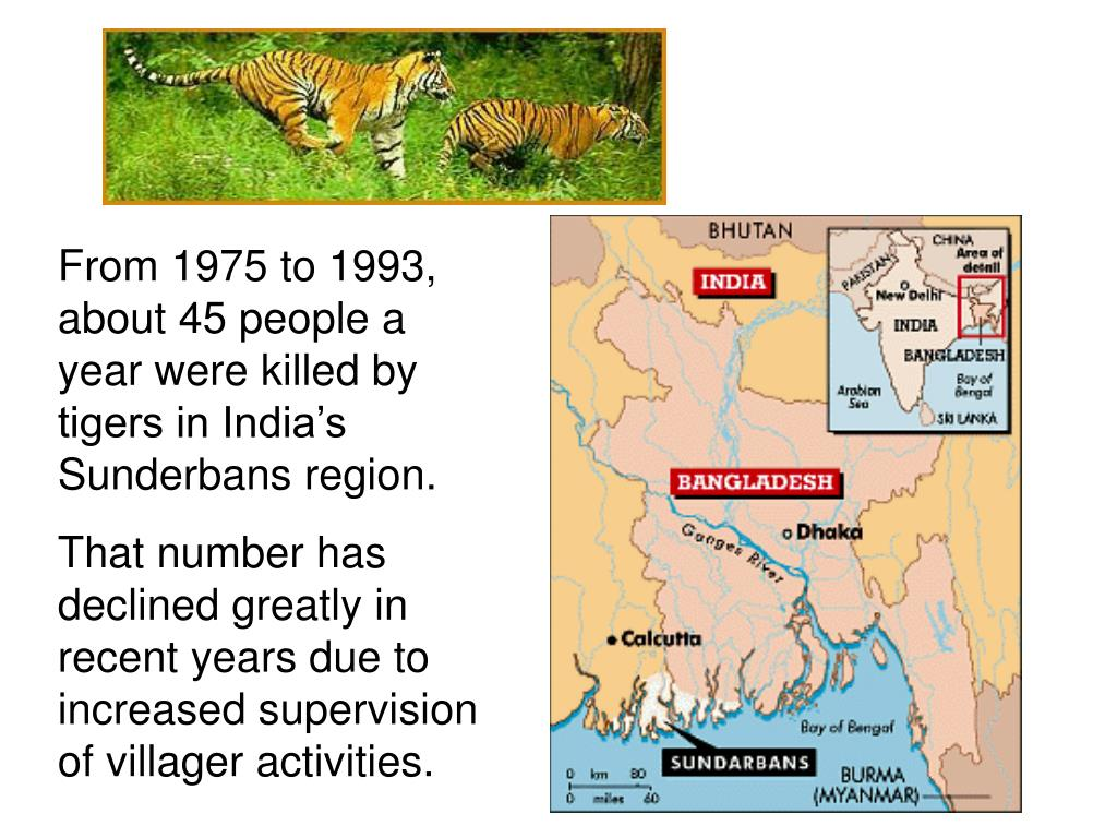 From 1975 to 1993, about 45 people a year were killed by tigers in India's Sunderbans region.