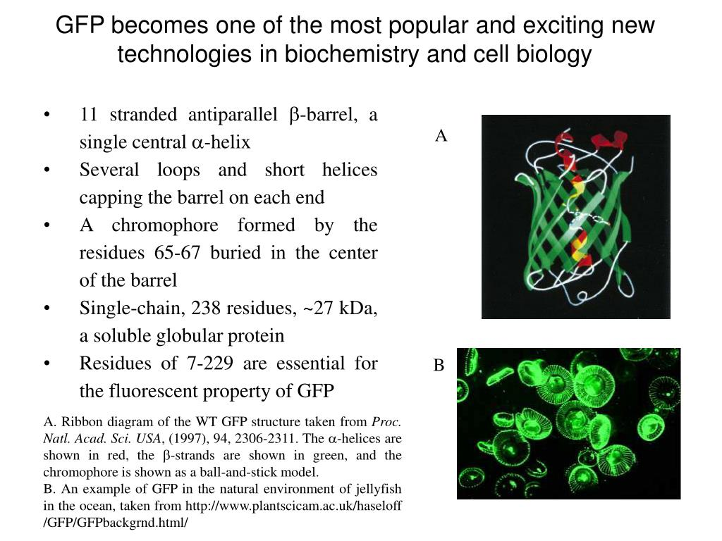 GFP becomes one of the most popular and exciting new technologies in biochemistry and cell biology