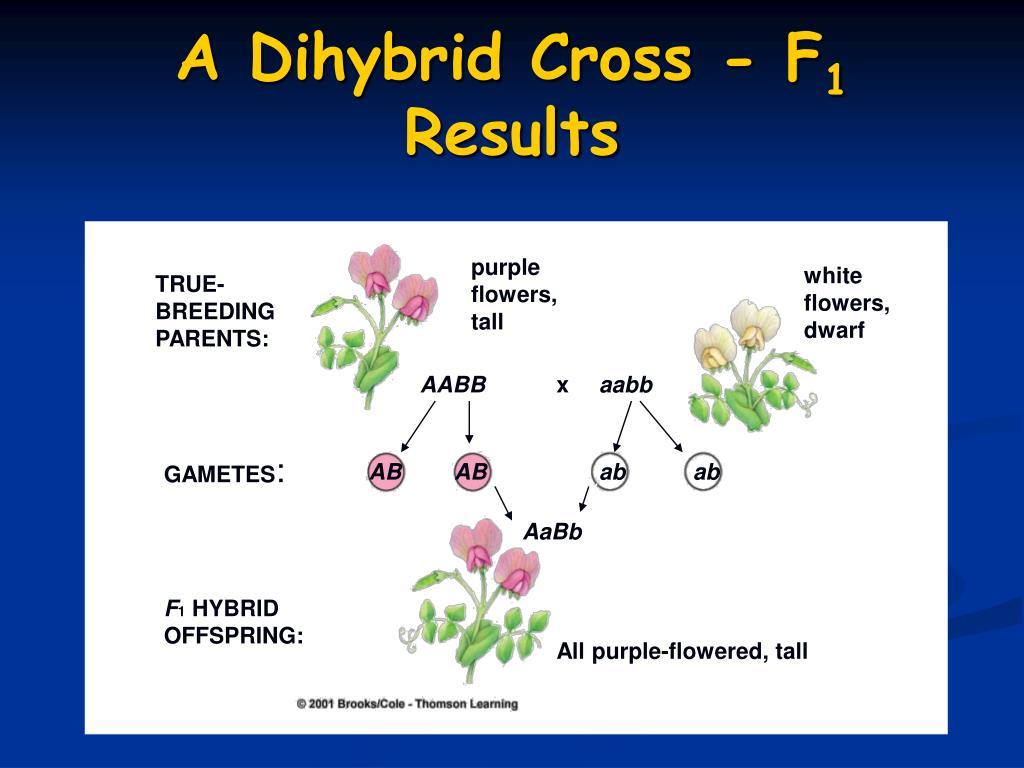 A Dihybrid Cross - F