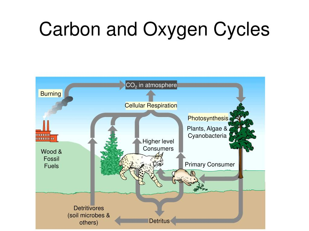 oxygen cycle The oxygen cycle is the cycle that helps move oxygen through the three main regions of the earth, the atmosphere, the biosphere, and the lithosphere the atmosphere.