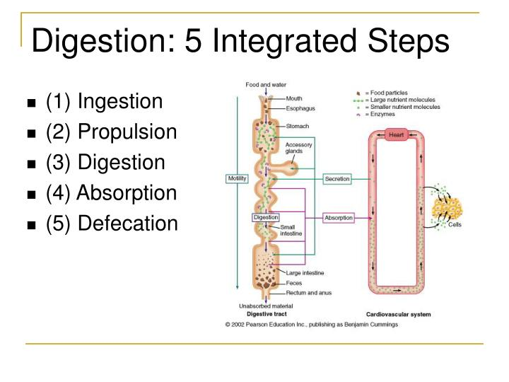 the two processes of digestion This process is called chemical digestion, and it works with the help of enzymes  once the food is completely digested, its molecules are small enough to pass.