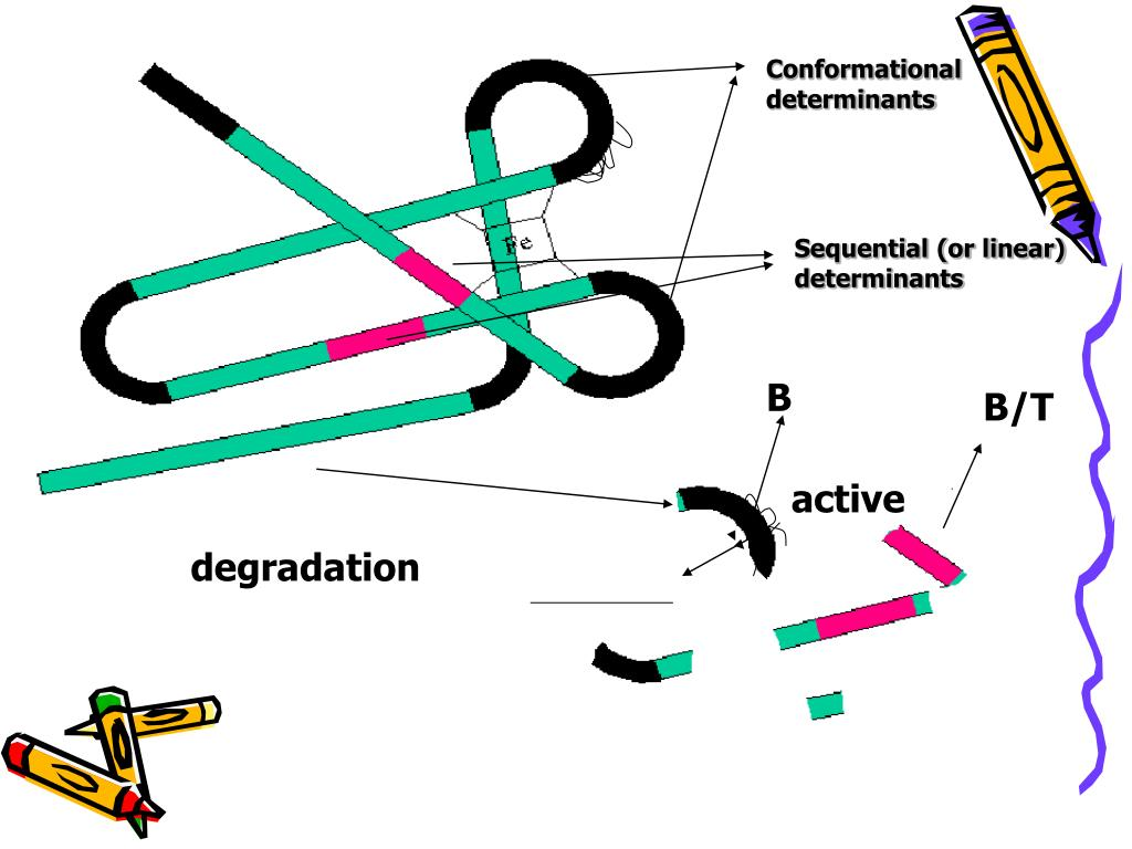 Conformational determinants