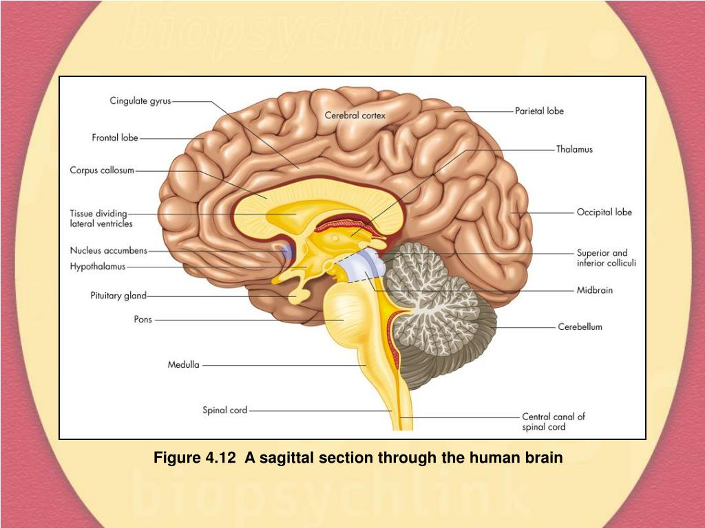 Figure 4.12  A sagittal section through the human brain