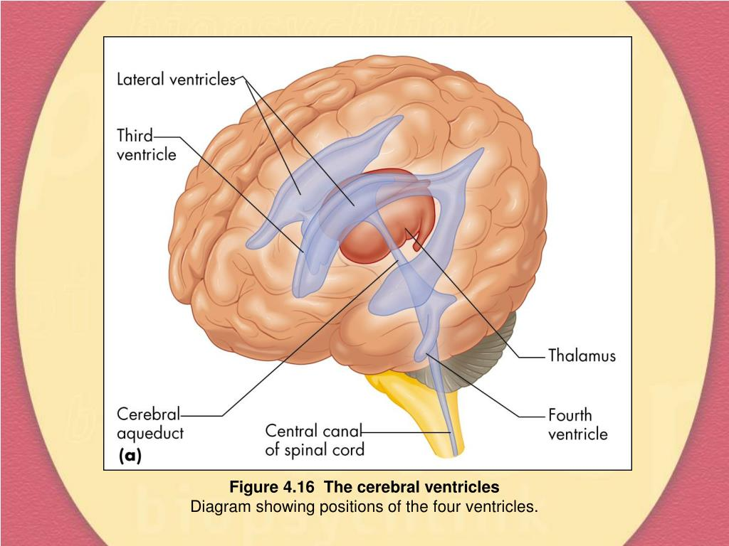 Figure 4.16  The cerebral ventricles
