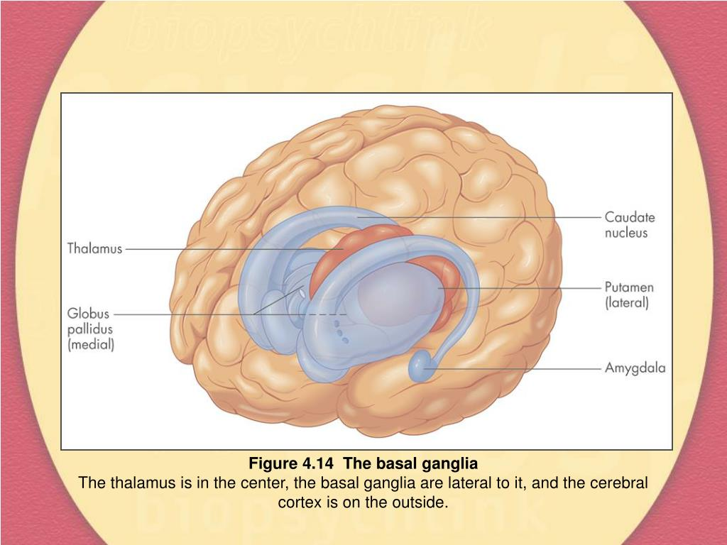 Figure 4.14  The basal ganglia