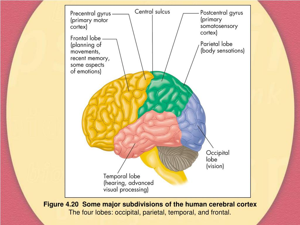 Figure 4.20  Some major subdivisions of the human cerebral cortex