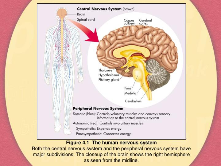 Figure 4.1  The human nervous system