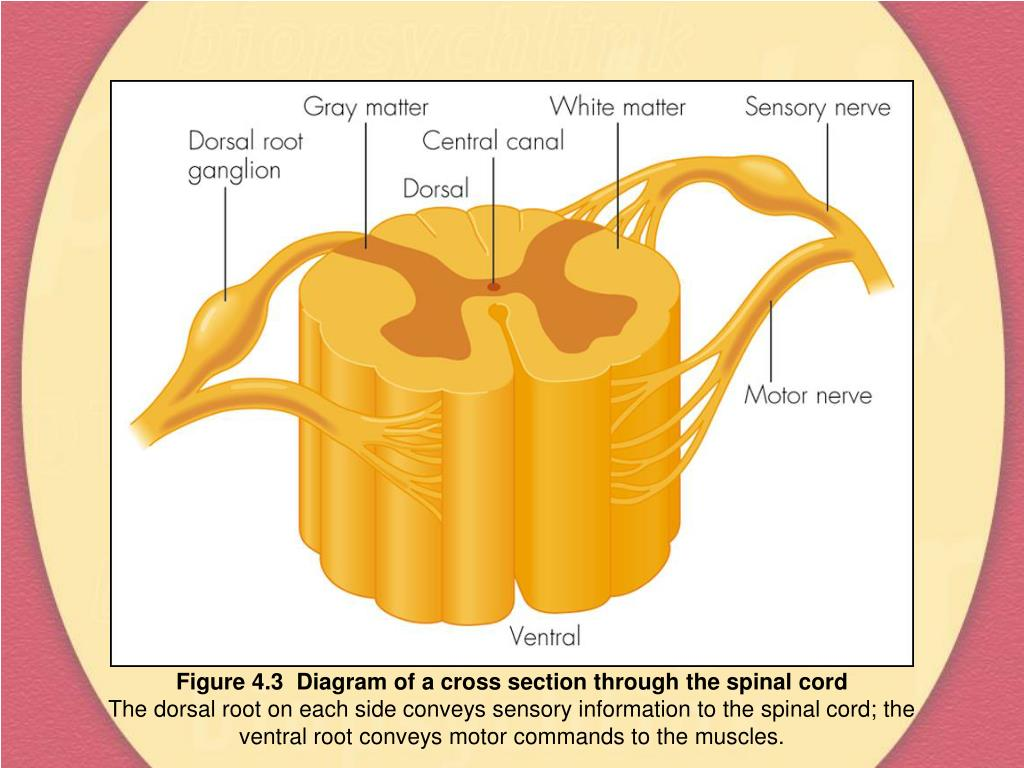 Figure 4.3  Diagram of a cross section through the spinal cord