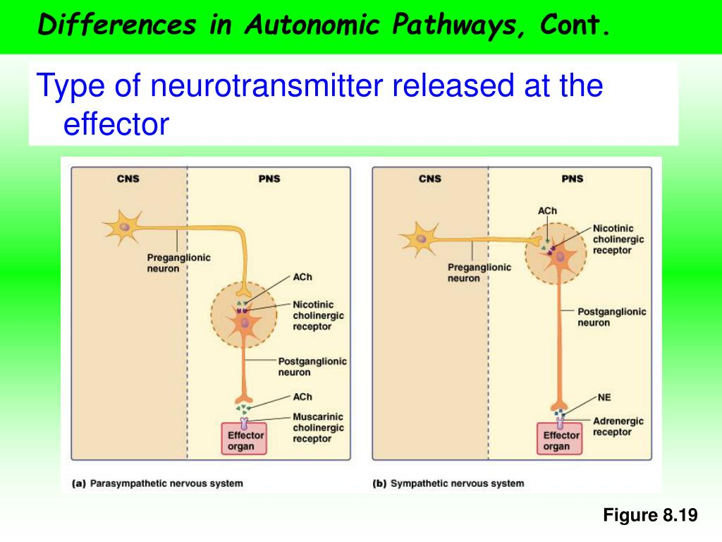 Differences in Autonomic Pathways,