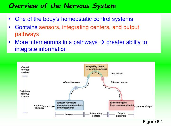 Overview of the nervous system l.jpg