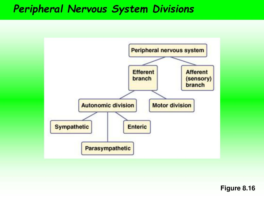 Peripheral Nervous System Divisions