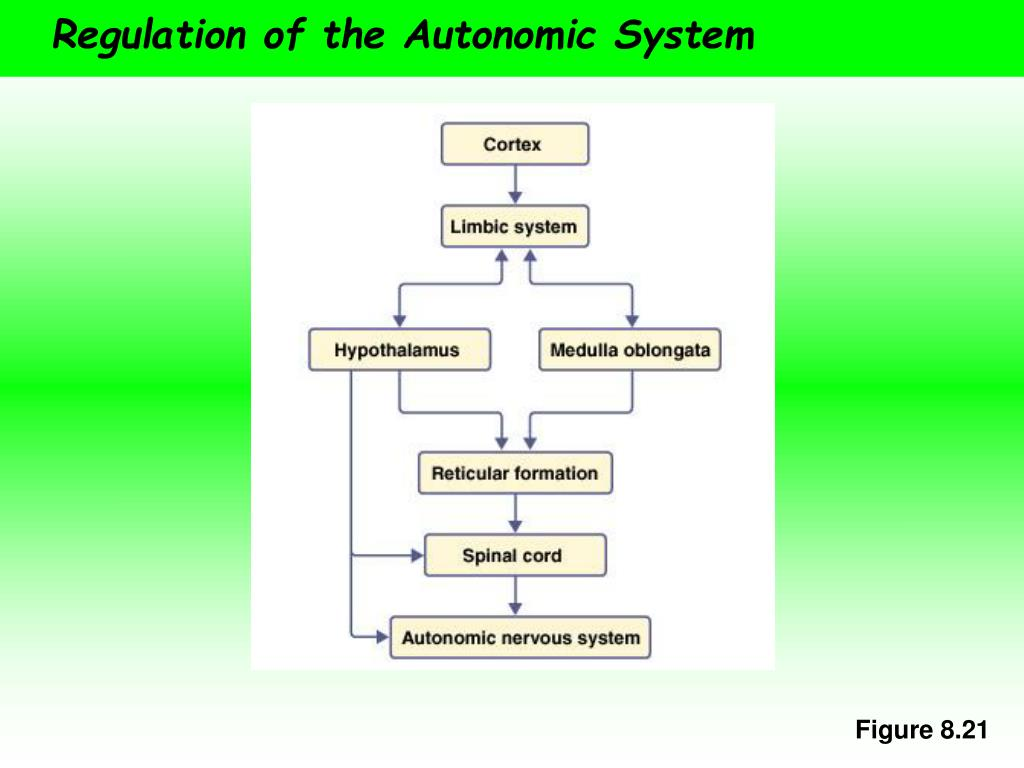 Regulation of the Autonomic System