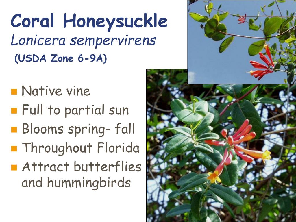 Coral Honeysuckle