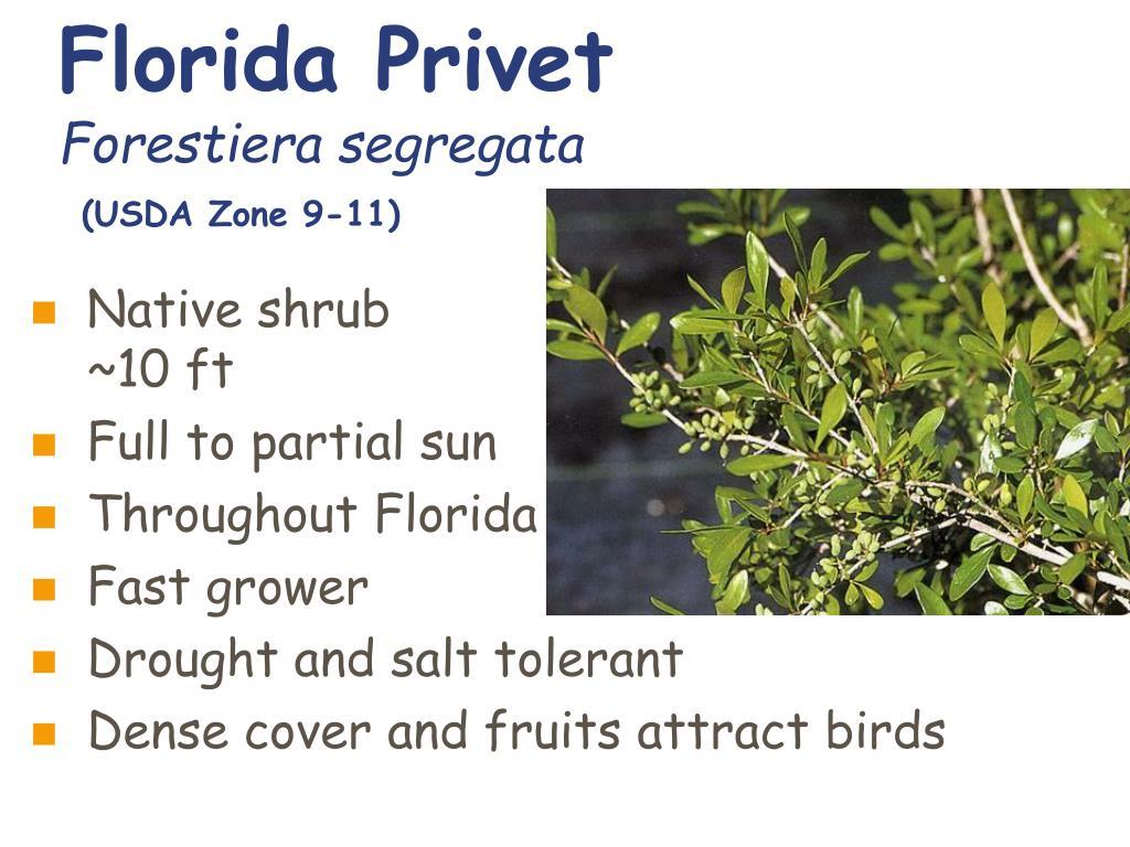 Florida Privet