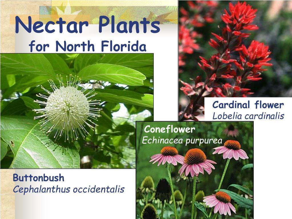 Nectar Plants
