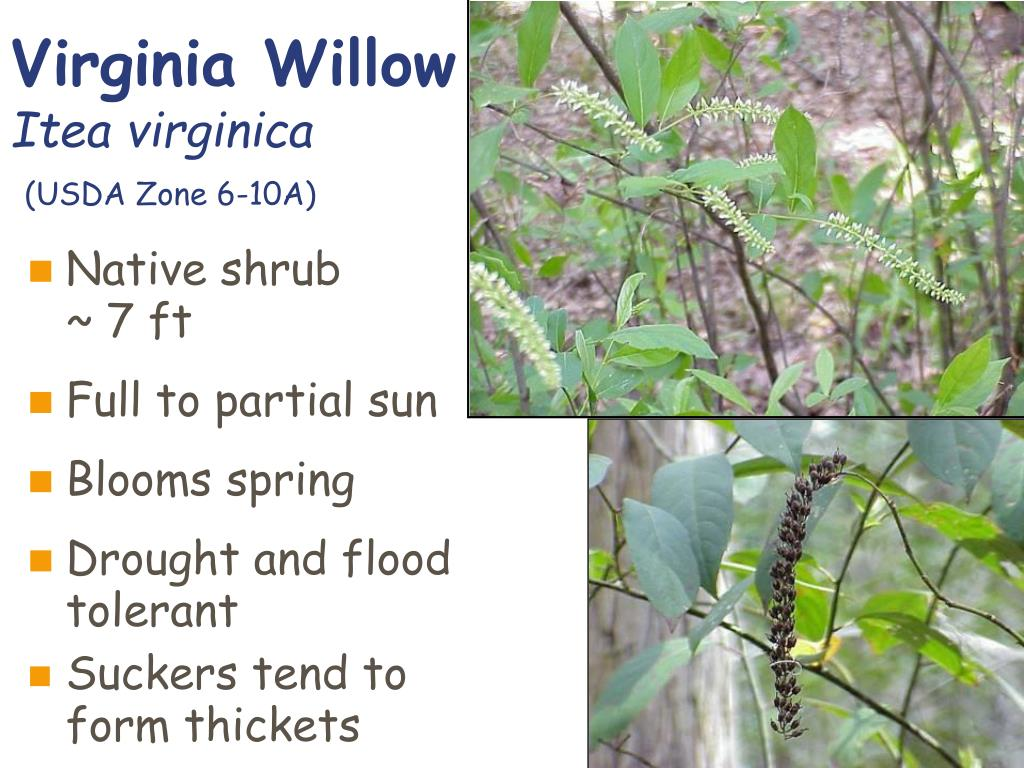 Virginia Willow