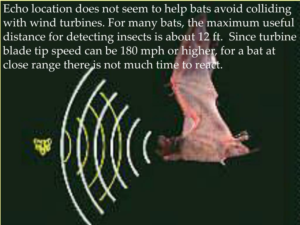 Echo location does not seem to help bats avoid colliding with wind turbines. For many bats, the maximum useful distance for detecting insects is about 12 ft.  Since turbine blade tip speed can be 180 mph or higher, for a bat at close range there is not much time to react.