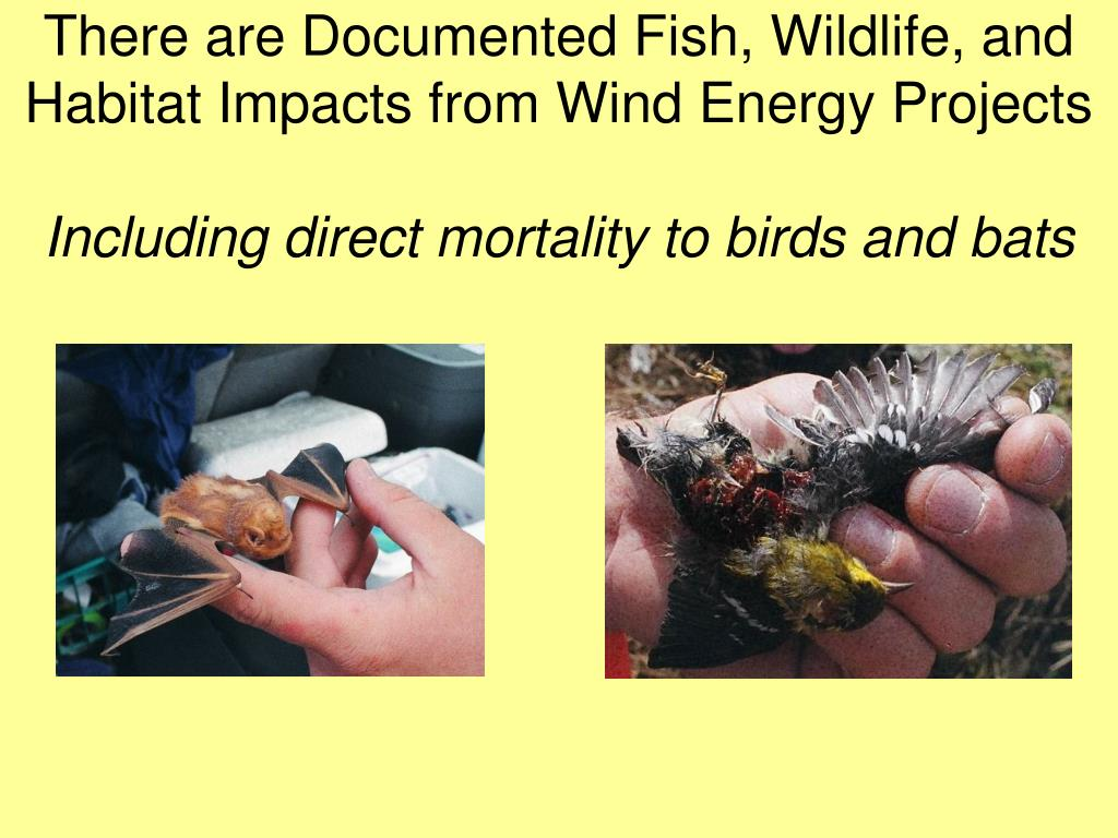 There are Documented Fish, Wildlife, and Habitat Impacts from Wind Energy Projects