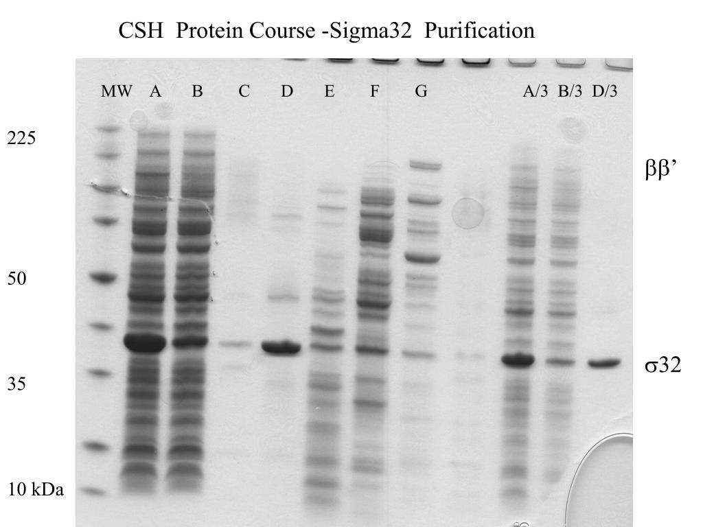 CSH  Protein Course -Sigma32  Purification