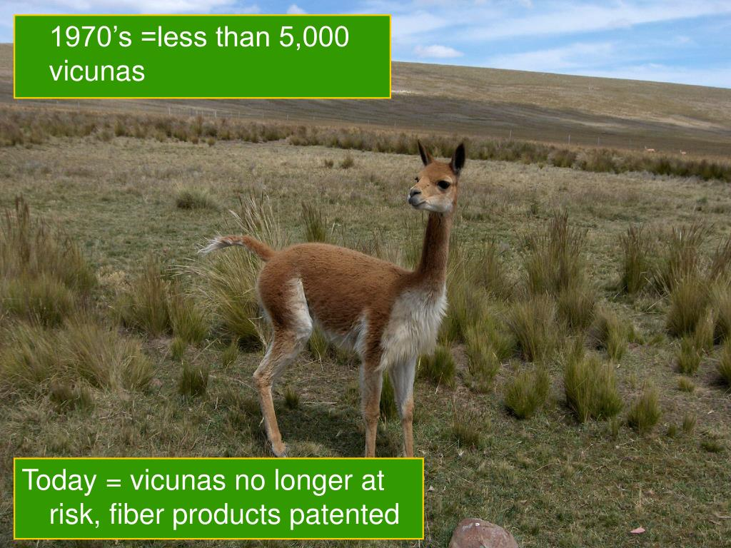 1970's =less than 5,000 vicunas