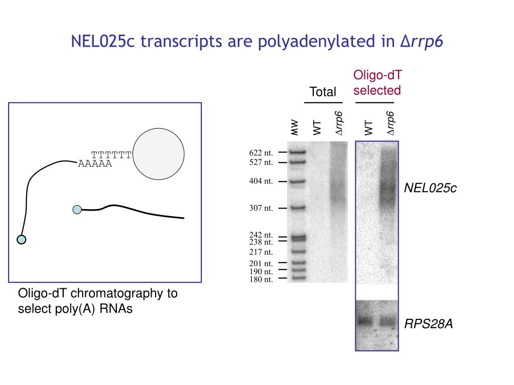 NEL025c transcripts are polyadenylated in ∆