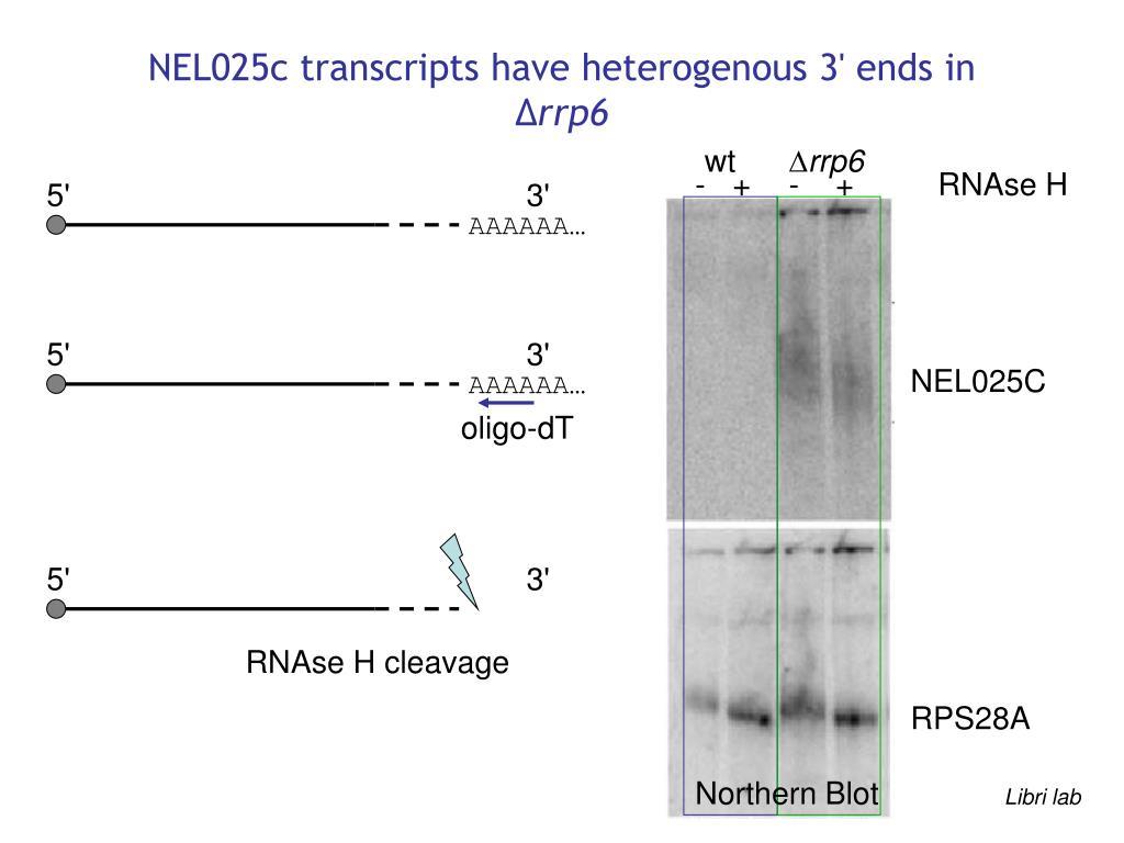 NEL025c transcripts have heterogenous 3' ends in ∆