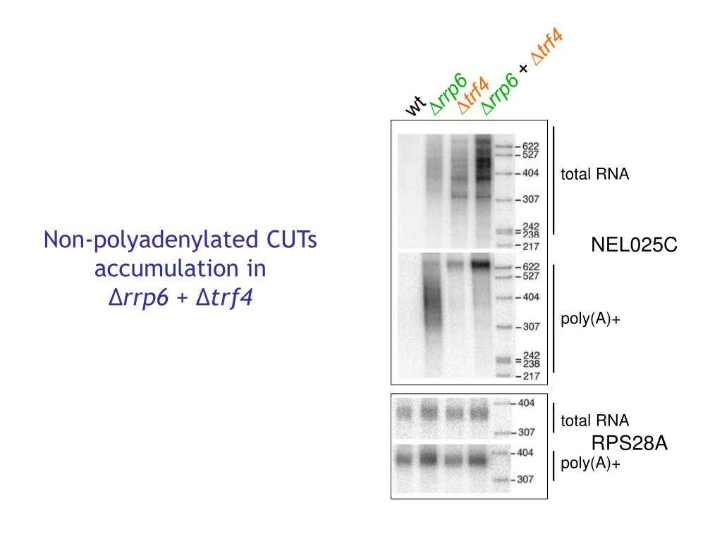 Non-polyadenylated CUTs accumulation in