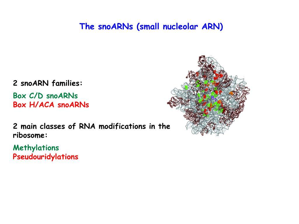 The snoARNs (small nucleolar ARN)