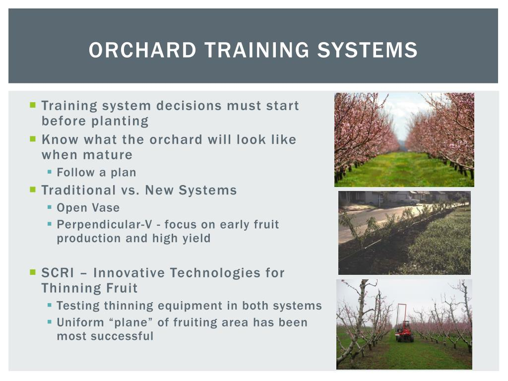 Ppt Training Systems For Peaches And Nectarines