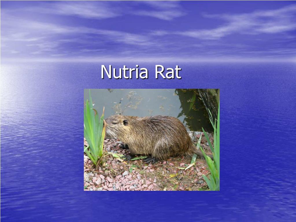 Nutria Rat