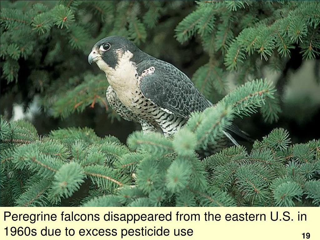 Peregrine falcons disappeared from the eastern U.S. in 1960s due to excess pesticide use