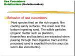 sea cucumbers holothurians holothuroidea20