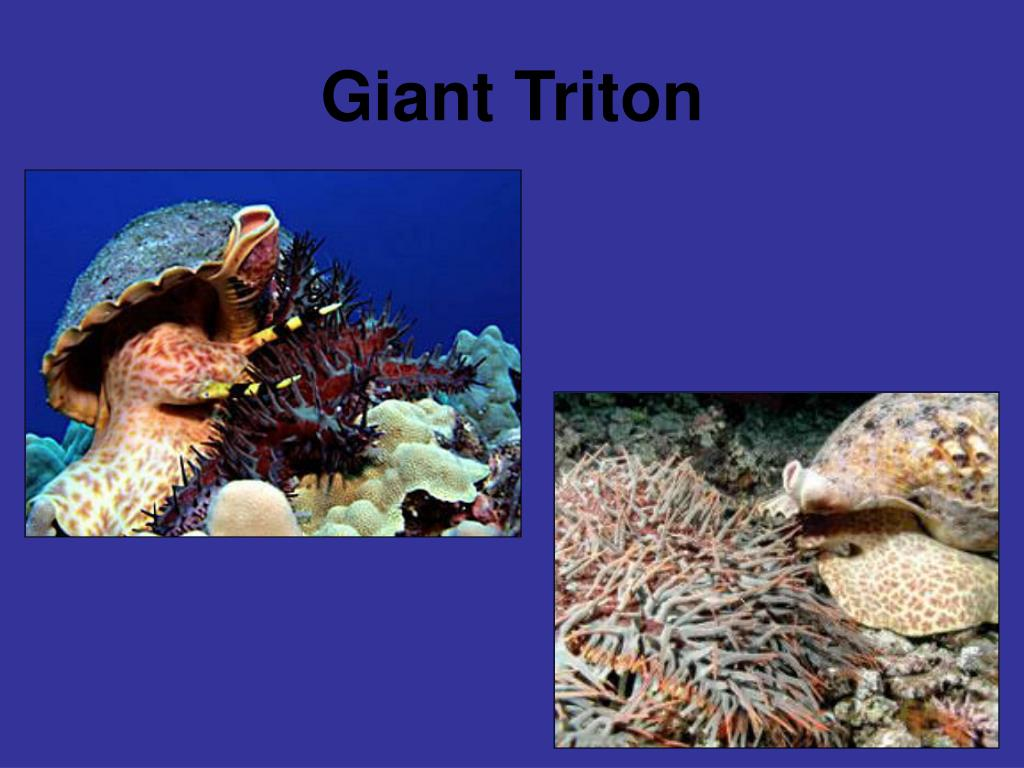 Giant Triton
