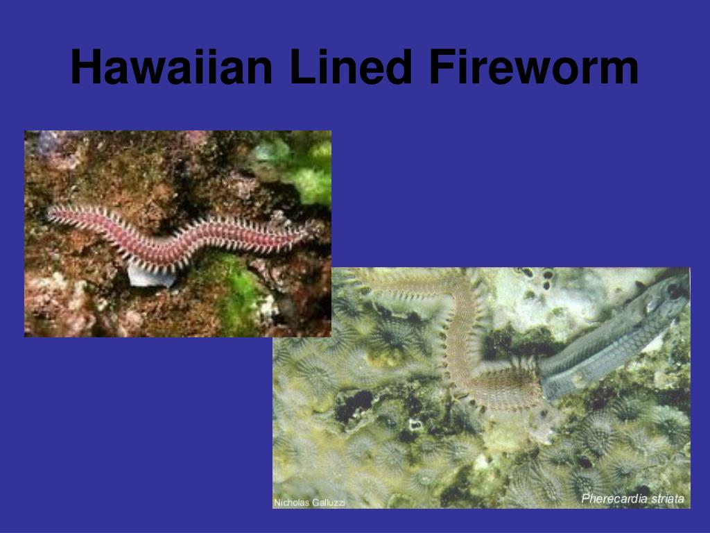 Hawaiian Lined Fireworm