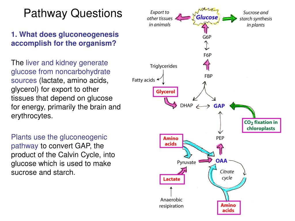 essay questions on carbohydrate metabolism G biochemistry cell and molecular biology est practice boo 3 | on questions requiring problem-solving skills f regulation and integration of metabolism covalent modification of enzymes allosteric regulation compartmentation.